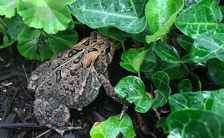 frog under leave plants